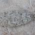 Palšasis semioskopis - Semioscopis strigulana   Fotografijos autorius : Žilvinas Pūtys   © Macrogamta.lt   Šis tinklapis priklauso bendruomenei kuri domisi makro fotografija ir fotografuoja gyvąjį makro pasaulį.