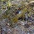 Dailioji žolinė krevetė - Palaemon elegans Rathke, 1837 | Fotografijos autorius : Vitalii Alekseev | © Macrogamta.lt | Šis tinklapis priklauso bendruomenei kuri domisi makro fotografija ir fotografuoja gyvąjį makro pasaulį.