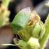Palomena prasina | Fotografijos autorius : Vitalii Alekseev | © Macrogamta.lt | Šis tinklapis priklauso bendruomenei kuri domisi makro fotografija ir fotografuoja gyvąjį makro pasaulį.