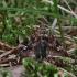 Papartinukas - Callopistria juventina | Fotografijos autorius : Vytautas Gluoksnis | © Macrogamta.lt | Šis tinklapis priklauso bendruomenei kuri domisi makro fotografija ir fotografuoja gyvąjį makro pasaulį.