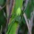 Paprastasis žaliavoris - Micrommata virescens ♀ | Fotografijos autorius : Romas Ferenca | © Macrogamta.lt | Šis tinklapis priklauso bendruomenei kuri domisi makro fotografija ir fotografuoja gyvąjį makro pasaulį.