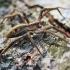 Paprastasis guolininkas - Pisaura mirabilis | Fotografijos autorius : Agnė Našlėnienė | © Macrogamta.lt | Šis tinklapis priklauso bendruomenei kuri domisi makro fotografija ir fotografuoja gyvąjį makro pasaulį.