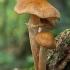 Paprastasis kelmutis - Armillaria mellea  | Fotografijos autorius : Gintautas Steiblys | © Macrogamta.lt | Šis tinklapis priklauso bendruomenei kuri domisi makro fotografija ir fotografuoja gyvąjį makro pasaulį.
