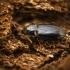 Paprastasis kirmžygis - Tachyta nana | Fotografijos autorius : Kazimieras Martinaitis | © Macrogamta.lt | Šis tinklapis priklauso bendruomenei kuri domisi makro fotografija ir fotografuoja gyvąjį makro pasaulį.