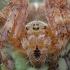 Paprastasis kryžiuotis - Araneus diadematus ♀ | Fotografijos autorius : Žilvinas Pūtys | © Macrogamta.lt | Šis tinklapis priklauso bendruomenei kuri domisi makro fotografija ir fotografuoja gyvąjį makro pasaulį.
