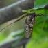 Paprastasis lašalas - Ephemera vulgata | Fotografijos autorius : Romas Ferenca | © Macrogamta.lt | Šis tinklapis priklauso bendruomenei kuri domisi makro fotografija ir fotografuoja gyvąjį makro pasaulį.