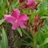 Paprastasis oleandras - Nerium oleander | Fotografijos autorius : Gintautas Steiblys | © Macrogamta.lt | Šis tinklapis priklauso bendruomenei kuri domisi makro fotografija ir fotografuoja gyvąjį makro pasaulį.