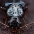 Paprastasis pūzravabalis - Pytho depressus | Fotografijos autorius : Žilvinas Pūtys | © Macrogamta.lt | Šis tinklapis priklauso bendruomenei kuri domisi makro fotografija ir fotografuoja gyvąjį makro pasaulį.