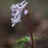 Paprastasis rūtenis - Corydalis solida | Fotografijos autorius : Agnė Našlėnienė | © Macrogamta.lt | Šis tinklapis priklauso bendruomenei kuri domisi makro fotografija ir fotografuoja gyvąjį makro pasaulį.
