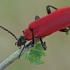 Paprastasis raudonvabalis - Pyrochroa coccinea | Fotografijos autorius : Gintautas Steiblys | © Macrogamta.lt | Šis tinklapis priklauso bendruomenei kuri domisi makro fotografija ir fotografuoja gyvąjį makro pasaulį.