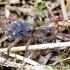 Paprastasis slampinėlis - Trochosa terricola | Fotografijos autorius : Kazimieras Martinaitis | © Macrogamta.lt | Šis tinklapis priklauso bendruomenei kuri domisi makro fotografija ir fotografuoja gyvąjį makro pasaulį.