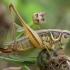 Paprastasis spragtukas - Metrioptera roeselii ♀ | Fotografijos autorius : Žilvinas Pūtys | © Macrogamta.lt | Šis tinklapis priklauso bendruomenei kuri domisi makro fotografija ir fotografuoja gyvąjį makro pasaulį.