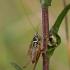 Paprastasis spragtukas - Metrioptera roeselii | Fotografijos autorius : Zita Gasiūnaitė | © Macrogamta.lt | Šis tinklapis priklauso bendruomenei kuri domisi makro fotografija ir fotografuoja gyvąjį makro pasaulį.