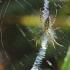 Paprastasis vapsvavoris - Argiope bruennichi | Fotografijos autorius : Vidas Brazauskas | © Macrogamta.lt | Šis tinklapis priklauso bendruomenei kuri domisi makro fotografija ir fotografuoja gyvąjį makro pasaulį.