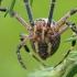 Paprastasis vapsvavoris - Argiope bruennichi | Fotografijos autorius : Gintautas Steiblys | © Macrogamta.lt | Šis tinklapis priklauso bendruomenei kuri domisi makro fotografija ir fotografuoja gyvąjį makro pasaulį.