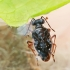 Paprastoji šokliablakė - Chartoscirta cincta | Fotografijos autorius : Gintautas Steiblys | © Macrogamta.lt | Šis tinklapis priklauso bendruomenei kuri domisi makro fotografija ir fotografuoja gyvąjį makro pasaulį.