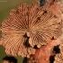 Paprastoji alksniabudė - Schizopgyllum commune | Fotografijos autorius : Ramunė Vakarė | © Macrogamta.lt | Šis tinklapis priklauso bendruomenei kuri domisi makro fotografija ir fotografuoja gyvąjį makro pasaulį.