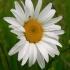 Paprastoji baltagalvė - Leucanthemum vulgare | Fotografijos autorius : Aleksandras Stabrauskas | © Macrogamta.lt | Šis tinklapis priklauso bendruomenei kuri domisi makro fotografija ir fotografuoja gyvąjį makro pasaulį.