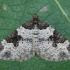 Paprastoji cidarija - Xanthorhoe fluctuata   Fotografijos autorius : Žilvinas Pūtys   © Macrogamta.lt   Šis tinklapis priklauso bendruomenei kuri domisi makro fotografija ir fotografuoja gyvąjį makro pasaulį.