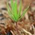 Paprastoji eglė - Picea abies   Fotografijos autorius : Gintautas Steiblys   © Macrogamta.lt   Šis tinklapis priklauso bendruomenei kuri domisi makro fotografija ir fotografuoja gyvąjį makro pasaulį.
