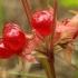 Paprastoji katuogė - Rubus saxatilis | Fotografijos autorius : Ramunė Vakarė | © Macrogamta.lt | Šis tinklapis priklauso bendruomenei kuri domisi makro fotografija ir fotografuoja gyvąjį makro pasaulį.