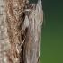 Paprastoji kukulija - Cucullia umbratica | Fotografijos autorius : Žilvinas Pūtys | © Macrogamta.lt | Šis tinklapis priklauso bendruomenei kuri domisi makro fotografija ir fotografuoja gyvąjį makro pasaulį.