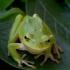 Rytinė medvarlė - Hyla orientalis   Fotografijos autorius : Romas Ferenca   © Macrogamta.lt   Šis tinklapis priklauso bendruomenei kuri domisi makro fotografija ir fotografuoja gyvąjį makro pasaulį.