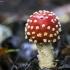 Paprastoji musmirė - Amanita muscaria | Fotografijos autorius : Kazimieras Martinaitis | © Macrogamta.lt | Šis tinklapis priklauso bendruomenei kuri domisi makro fotografija ir fotografuoja gyvąjį makro pasaulį.