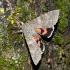 Paprastoji peteliškė - Catocala nupta | Fotografijos autorius : Vitalijus Bačianskas | © Macrogamta.lt | Šis tinklapis priklauso bendruomenei kuri domisi makro fotografija ir fotografuoja gyvąjį makro pasaulį.
