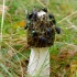 Paprastoji poniabudė - Phallus impudicus | Fotografijos autorius : Romas Ferenca | © Macrogamta.lt | Šis tinklapis priklauso bendruomenei kuri domisi makro fotografija ir fotografuoja gyvąjį makro pasaulį.