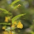 Paprastoji sprigė - Impatiens noli-tangere | Fotografijos autorius : Agnė Našlėnienė | © Macrogamta.lt | Šis tinklapis priklauso bendruomenei kuri domisi makro fotografija ir fotografuoja gyvąjį makro pasaulį.