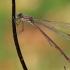 Paprastoji strėliukė - Lestes sponsa | Fotografijos autorius : Gintautas Steiblys | © Macrogamta.lt | Šis tinklapis priklauso bendruomenei kuri domisi makro fotografija ir fotografuoja gyvąjį makro pasaulį.