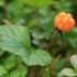 Paprastoji tekšė - Rubus chamaemorus | Fotografijos autorius : Ramunė Vakarė | © Macrogamta.lt | Šis tinklapis priklauso bendruomenei kuri domisi makro fotografija ir fotografuoja gyvąjį makro pasaulį.