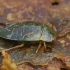 Paprastoji vandenblakė - Ilyocoris cimicoides, nimfa | Fotografijos autorius : Gintautas Steiblys | © Macrogamta.lt | Šis tinklapis priklauso bendruomenei kuri domisi makro fotografija ir fotografuoja gyvąjį makro pasaulį.