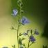 Paprastoji veronika - Veronica chamaedrys | Fotografijos autorius : Vidas Brazauskas | © Macrogamta.lt | Šis tinklapis priklauso bendruomenei kuri domisi makro fotografija ir fotografuoja gyvąjį makro pasaulį.