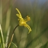 Paprastoji vištapienė - Gagea lutea | Fotografijos autorius : Agnė Našlėnienė | © Macrogamta.lt | Šis tinklapis priklauso bendruomenei kuri domisi makro fotografija ir fotografuoja gyvąjį makro pasaulį.