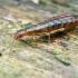Paprastosios auslindos - Forficula auricularia nimfa | Fotografijos autorius : Gintautas Steiblys | © Macrogamta.lt | Šis tinklapis priklauso bendruomenei kuri domisi makro fotografija ir fotografuoja gyvąjį makro pasaulį.