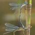 Paprastosios strėliukės - Lestes sponsa | Fotografijos autorius : Gintautas Steiblys | © Macrogamta.lt | Šis tinklapis priklauso bendruomenei kuri domisi makro fotografija ir fotografuoja gyvąjį makro pasaulį.
