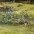 Pasaginės strėliukės - Coenagrion puella | Fotografijos autorius : Gintautas Steiblys | © Macrogamta.lt | Šis tinklapis priklauso bendruomenei kuri domisi makro fotografija ir fotografuoja gyvąjį makro pasaulį.