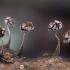 Pasvirasis kukuliukas - Physarum album | Fotografijos autorius : Žilvinas Pūtys | © Macrogamta.lt | Šis tinklapis priklauso bendruomenei kuri domisi makro fotografija ir fotografuoja gyvąjį makro pasaulį.