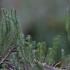 Pataisas varinčius - Lycopodium annotinum | Fotografijos autorius : Kęstutis Obelevičius | © Macrogamta.lt | Šis tinklapis priklauso bendruomenei kuri domisi makro fotografija ir fotografuoja gyvąjį makro pasaulį.