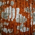 Pavėsinė trentepolija - Trentepohlia umbrina. Skyvytė - Lecidella sp. | Fotografijos autorius : Aleksandras Stabrauskas | © Macrogamta.lt | Šis tinklapis priklauso bendruomenei kuri domisi makro fotografija ir fotografuoja gyvąjį makro pasaulį.