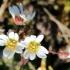 Pavasarinė ankstyvė - Erophila verna | Fotografijos autorius : Ramunė Vakarė | © Macrogamta.lt | Šis tinklapis priklauso bendruomenei kuri domisi makro fotografija ir fotografuoja gyvąjį makro pasaulį.