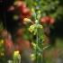 Pavasarinė raktažolė - Primula veris | Fotografijos autorius : Vidas Brazauskas | © Macrogamta.lt | Šis tinklapis priklauso bendruomenei kuri domisi makro fotografija ir fotografuoja gyvąjį makro pasaulį.