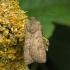 Ruginukas - Agrotis segetum | Fotografijos autorius : Vidas Brazauskas | © Macrogamta.lt | Šis tinklapis priklauso bendruomenei kuri domisi makro fotografija ir fotografuoja gyvąjį makro pasaulį.