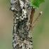 Žalsvasis pūkanugaris - Polyploca ridens | Fotografijos autorius : Gintautas Steiblys | © Macrogamta.lt | Šis tinklapis priklauso bendruomenei kuri domisi makro fotografija ir fotografuoja gyvąjį makro pasaulį.