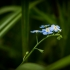 Pelkinė neužmirštuolė | Fotografijos autorius : Saulius Drazdauskas | © Macrogamta.lt | Šis tinklapis priklauso bendruomenei kuri domisi makro fotografija ir fotografuoja gyvąjį makro pasaulį.