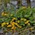 Pelkinė puriena - Caltha palustris | Fotografijos autorius : Kęstutis Obelevičius | © Macrogamta.lt | Šis tinklapis priklauso bendruomenei kuri domisi makro fotografija ir fotografuoja gyvąjį makro pasaulį.