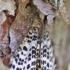 Pelkinis margasprindis - Arichanna melanaria | Fotografijos autorius : Agnė Našlėnienė | © Macrogamta.lt | Šis tinklapis priklauso bendruomenei kuri domisi makro fotografija ir fotografuoja gyvąjį makro pasaulį.