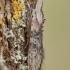 Pelyninė kukulija - Cucullia absinthii | Fotografijos autorius : Žilvinas Pūtys | © Macrogamta.lt | Šis tinklapis priklauso bendruomenei kuri domisi makro fotografija ir fotografuoja gyvąjį makro pasaulį.